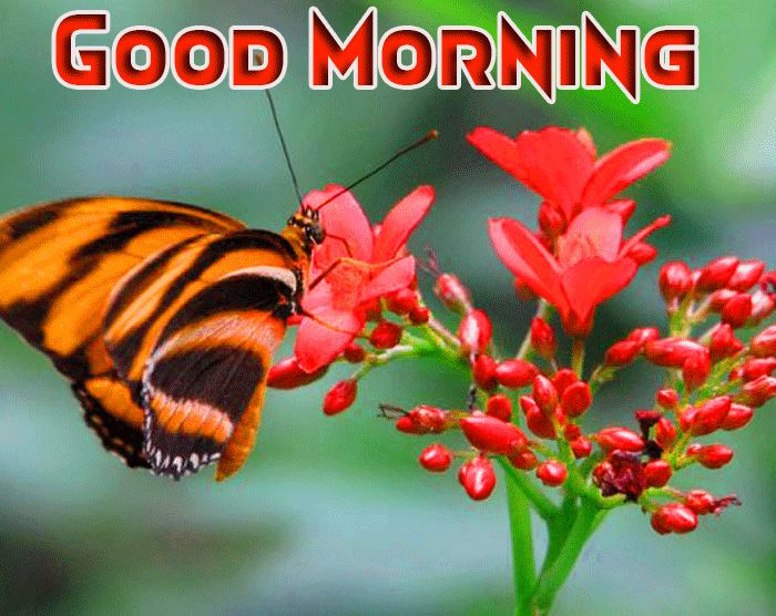 butterfly good morning image
