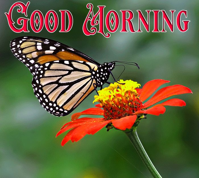good morning butterfly love