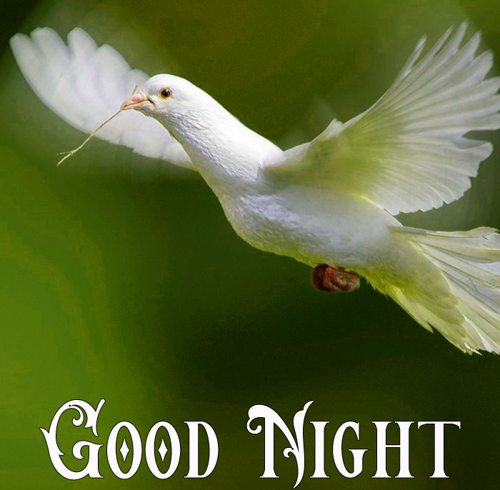 Good Night flying white dove hd download