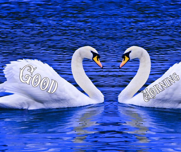 Love birds Good morning swan images in water and nature