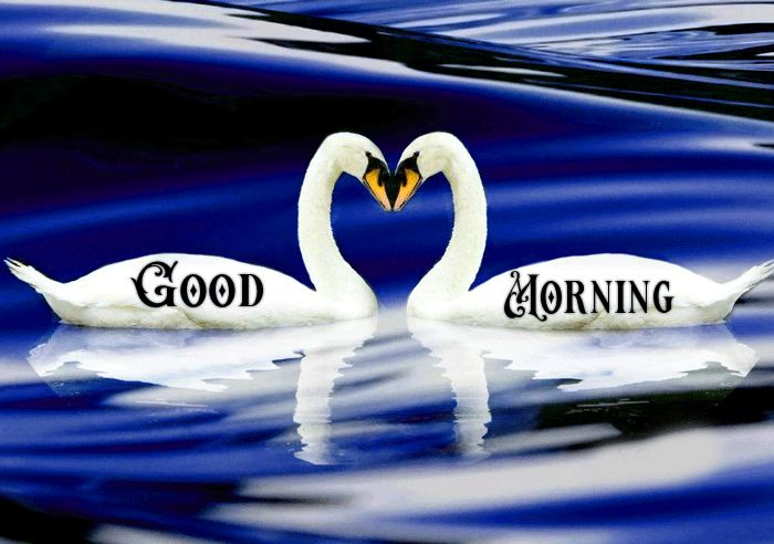 Love couple Good morning swan images in water and nature