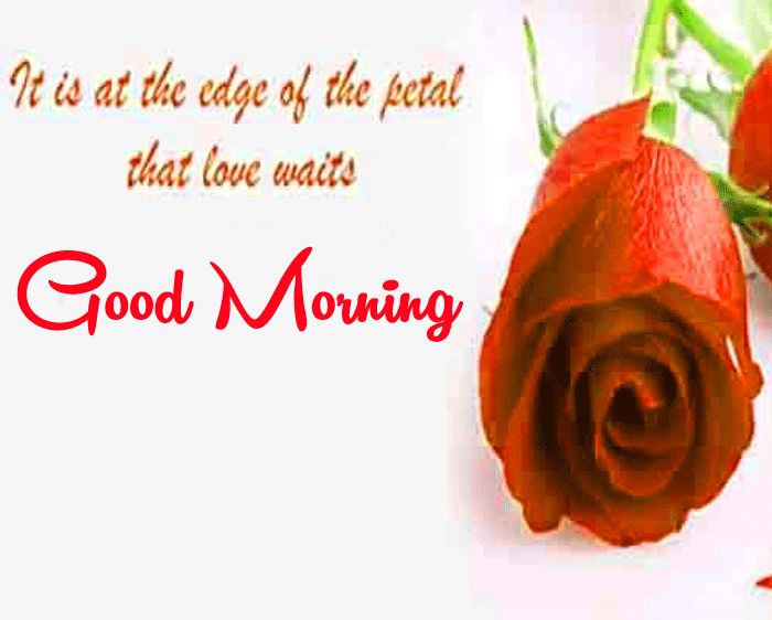 red rose good morning wishes