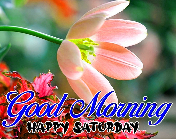 latest tulips flower Good Morning Happy Saturday images hd