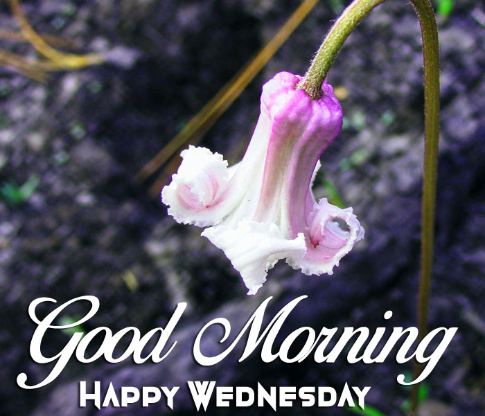 swamp flower Good Morning Happy Wednesday images hd