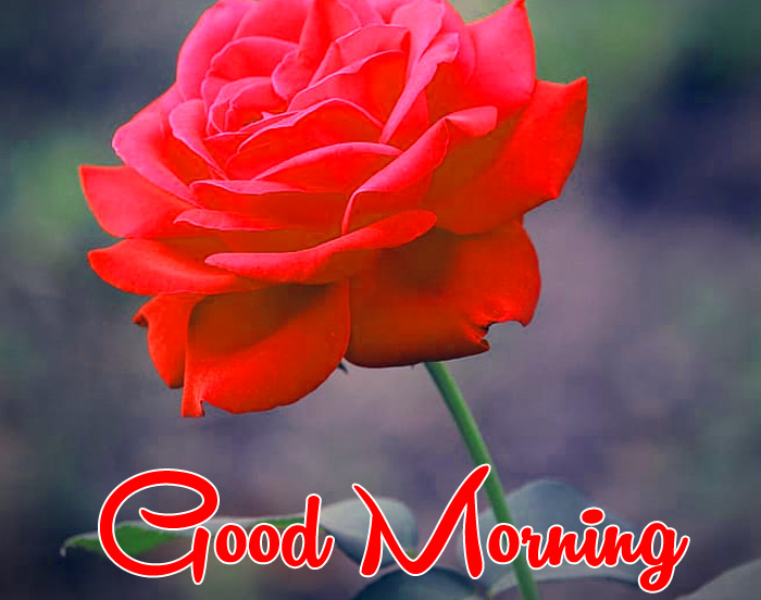 beautiful red rose Good Morning wallpaper for whatsapp