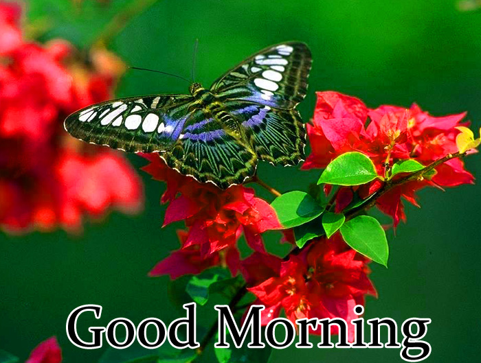 best butterfly Good Morning pics hd