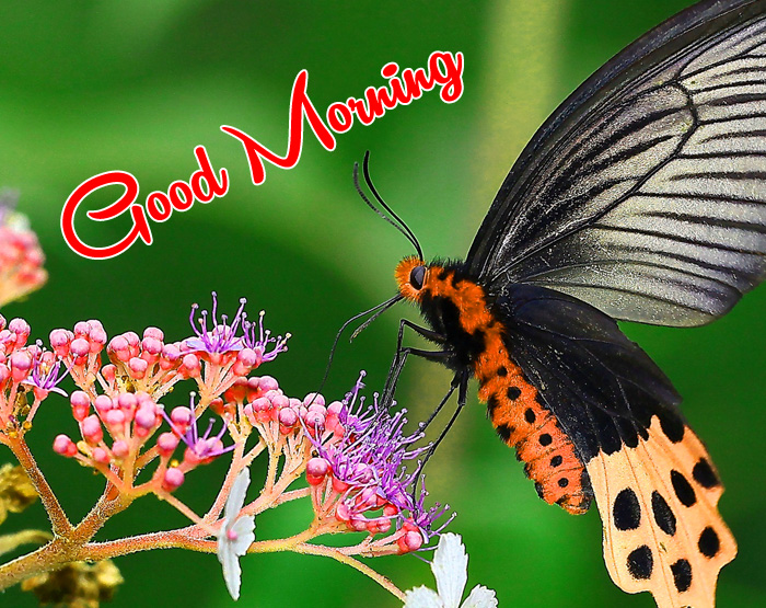 black butterfly Good Morning photo