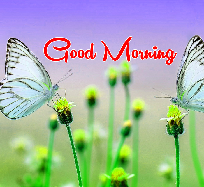 butterfly and flower Good Morning pics hd