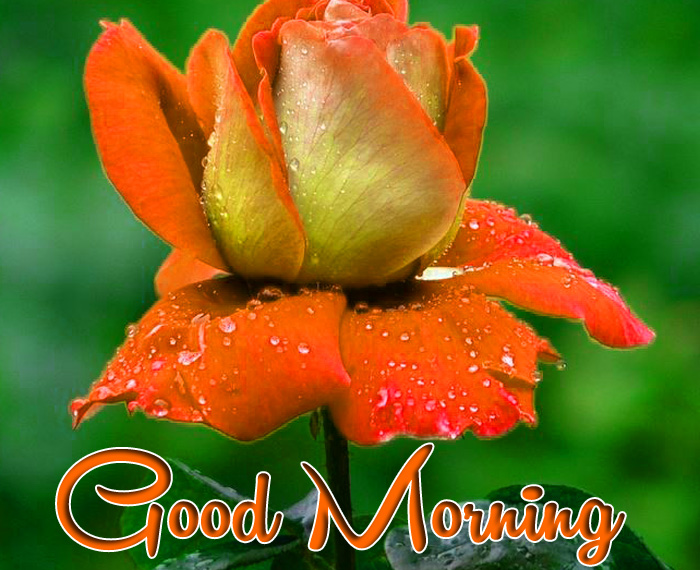 cute red flower Good Morning photo