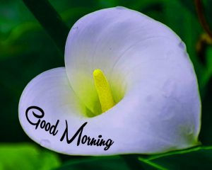 cute white flower Good Morning pics