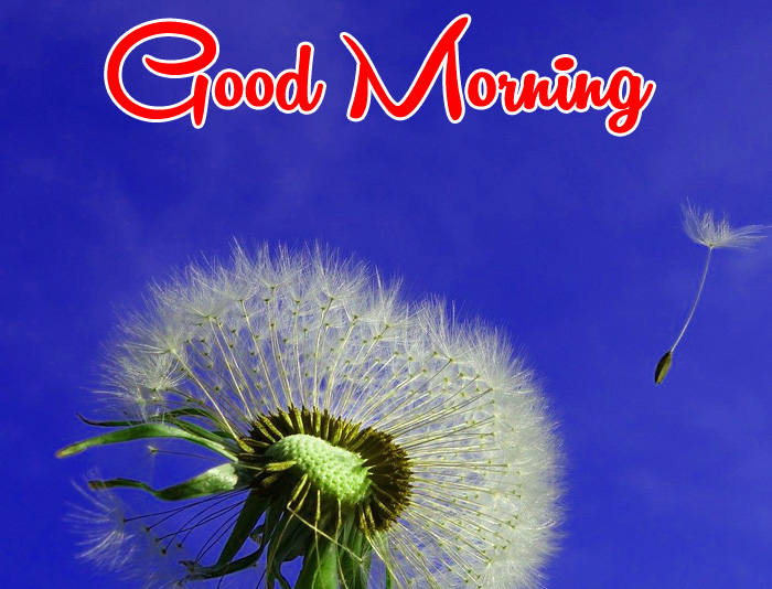 dandelion flower Good Morning images hd