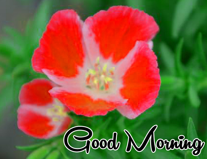 latest Good Morning flower pics hd