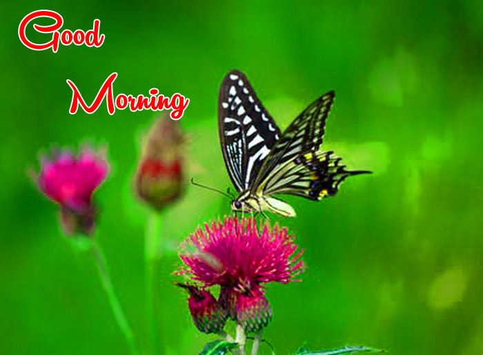 latest black butterfly Good Morning photo