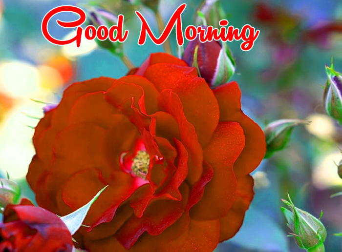 latest red flower Good Morning hd