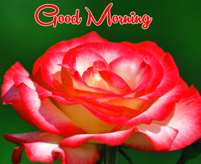 latest red flower Good Morning photo