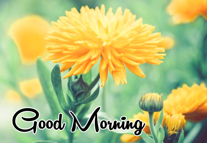latest yellow flower Good Morning hd