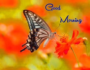nice flower butterfly Good Morning pics