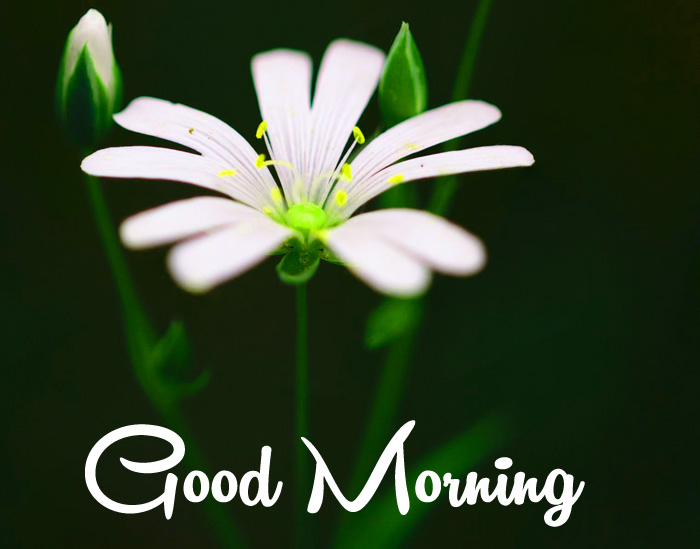 nice white flower Good Morning picture
