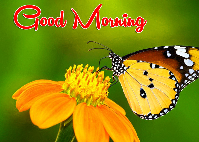 nice yellow flower butterfly Good Morning pics