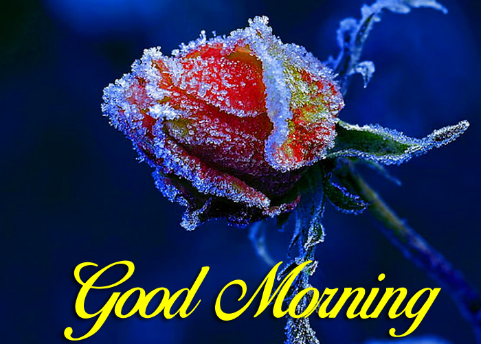 red rose Good Morning images for whatsapp