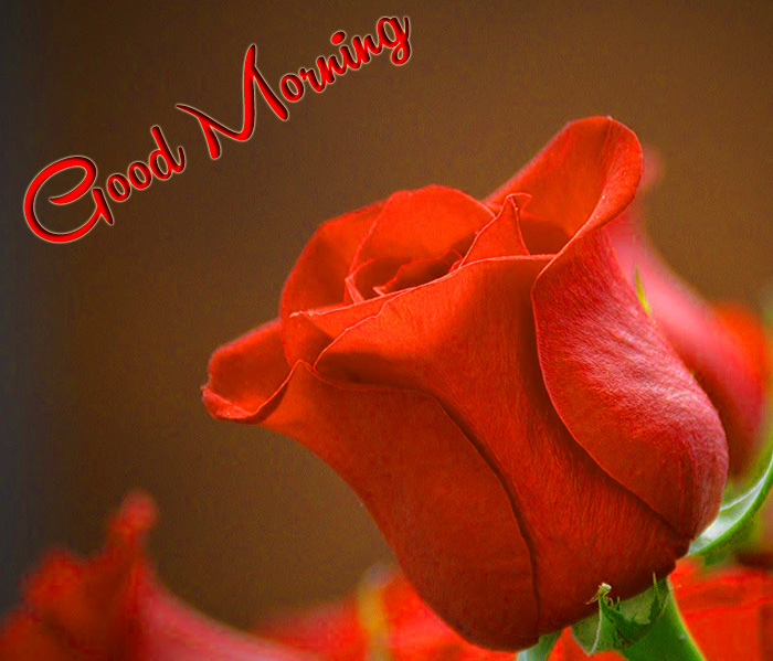 red rose flower Good Morning pics hd