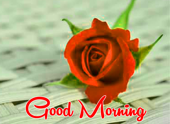 sad red rose flower Good Morning pics hd