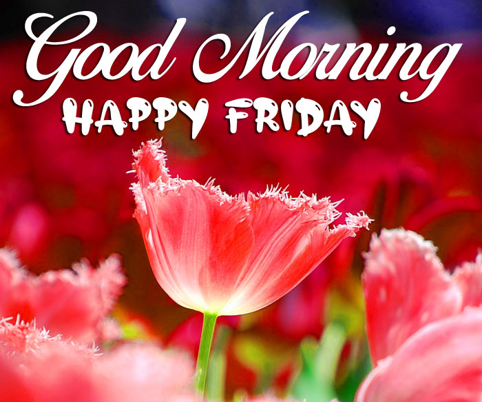 tulips pink flower Good Morning Happy Friday images hd