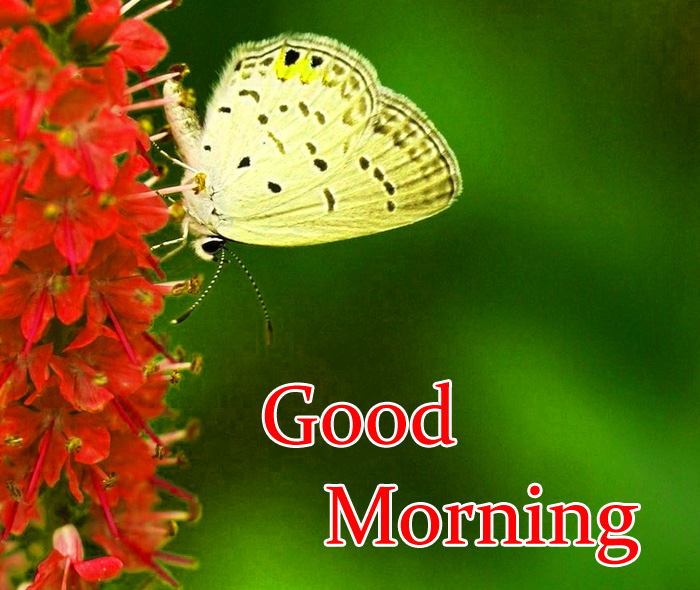 white butterfly Good Morning pics hd