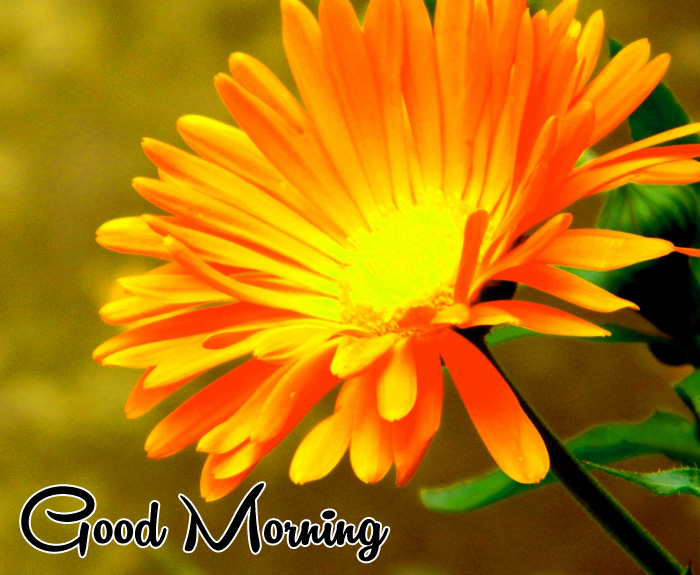 yellow flower Good Morning hd photo