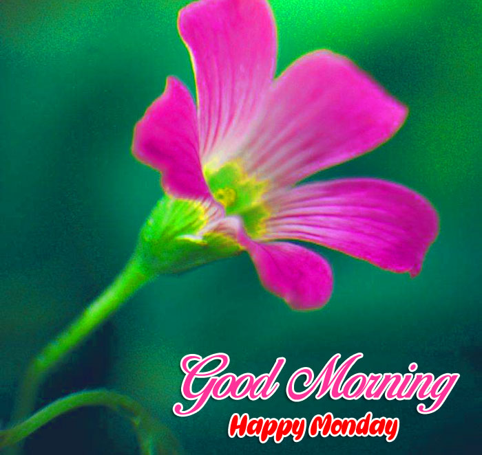 alone pink flower Good Morning Happy Monday images hd