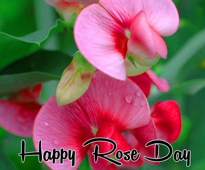 beautiful flower Happy Rose Day Gift hd