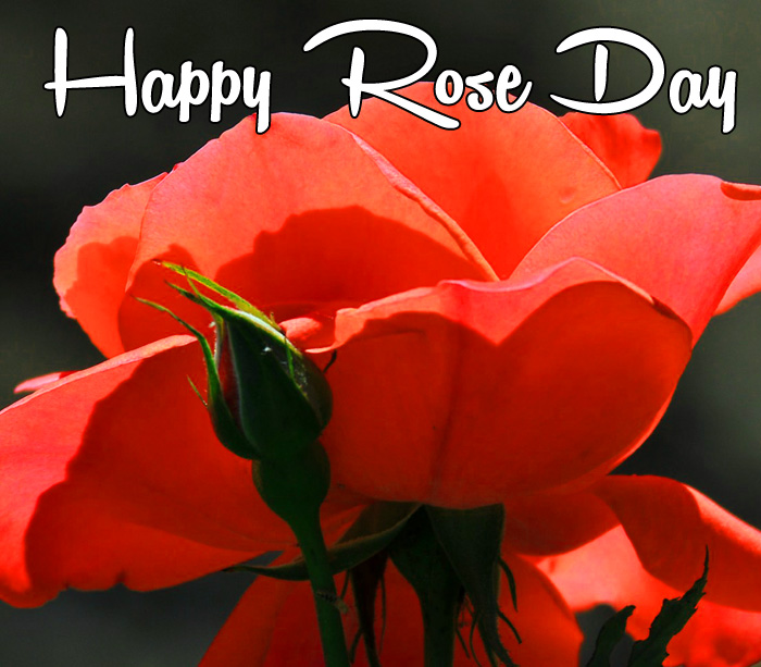 beautiful flower Happy Rose Day hd pics