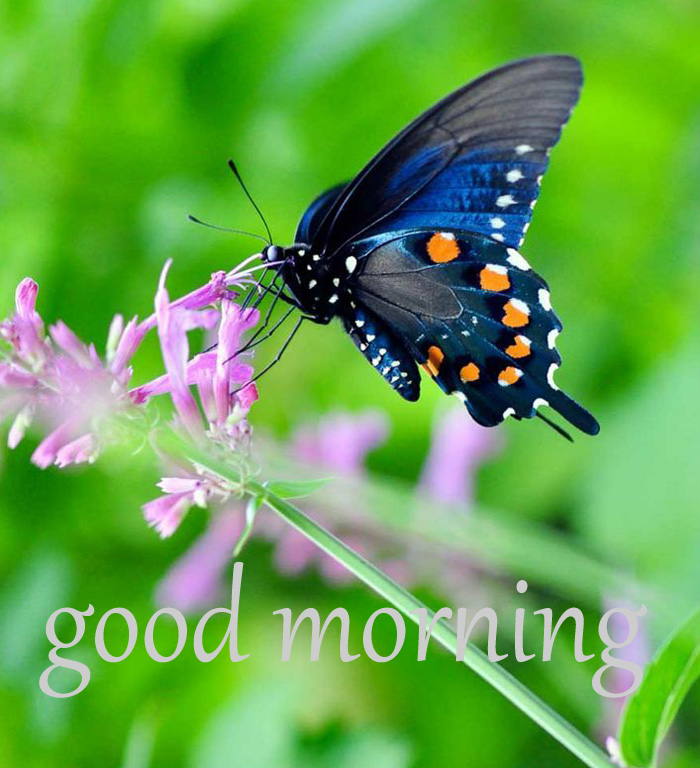 best beautiful butterfly good morning image