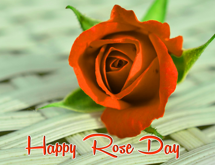 best single flower Happy Rose Day hd