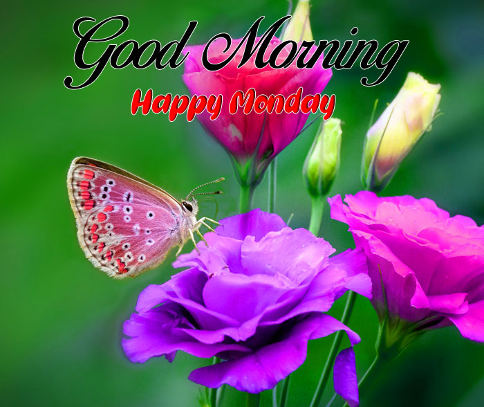 butterfly Good Morning Happy Monday images hd
