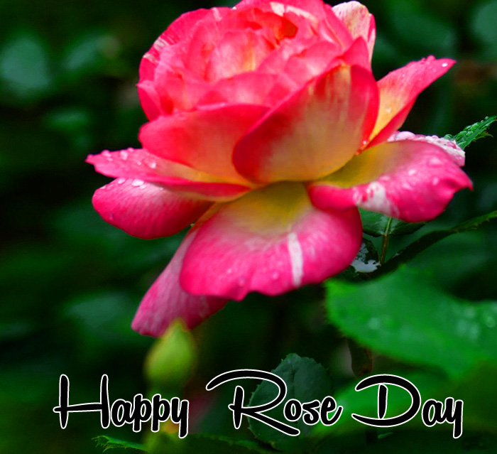 dark pink flower Happy Rose Day hd wallpaper