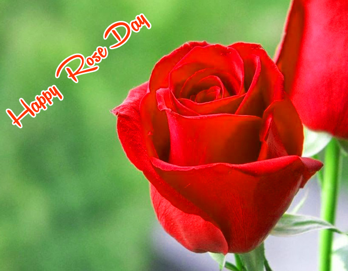 dark red flower Happy Rose Day wallpaper hd