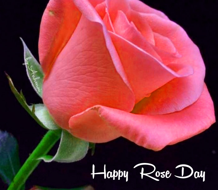 latest Happy Rose Day Gift pink flower hd