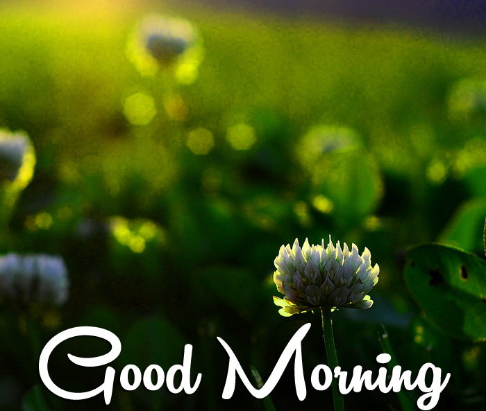 latest sunrise Good Morning white flower images
