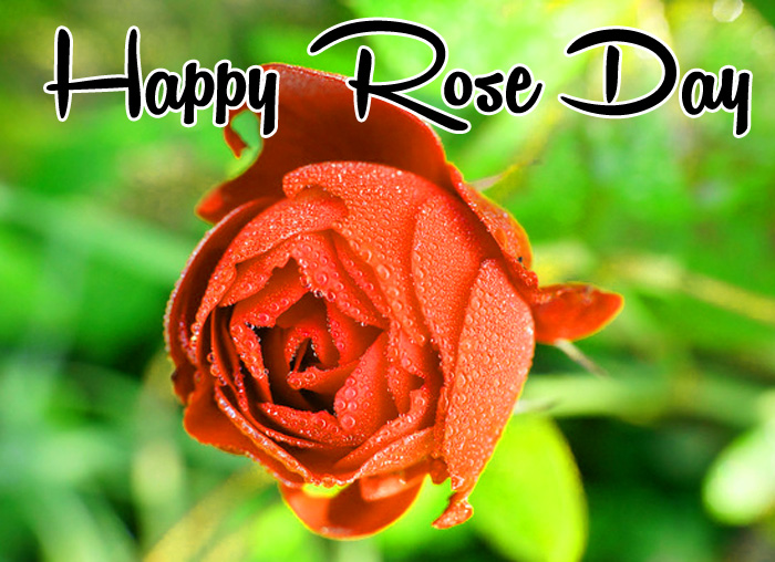 new red flower Happy Rose Day Gift hd