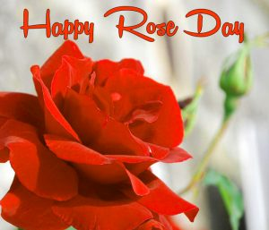 new red flower Happy Rose Day hd wallpaper
