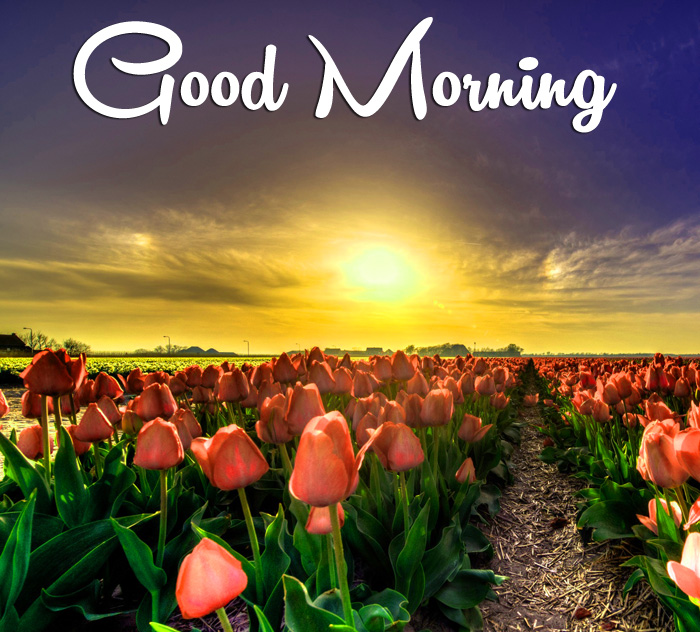 new sunrise Good Morning tulips flower images