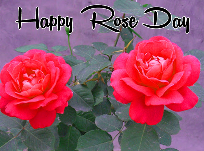 nice Happy Rose Day pink flower hd wallpaper