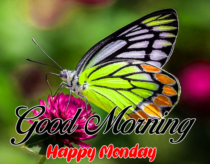 nice butterfly Good Morning Happy Monday images