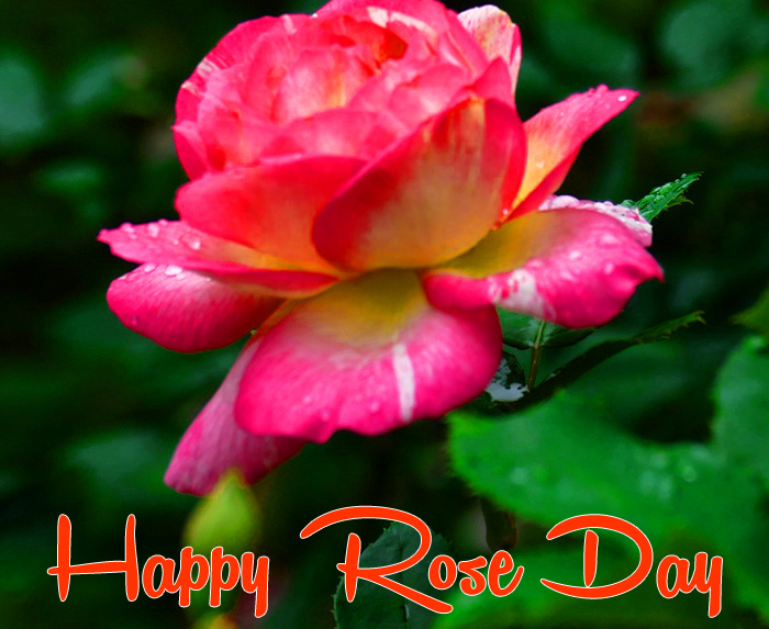 nice red flower Happy Rose Day Gift hd