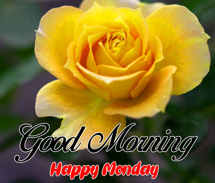 nice yellow rose Good Morning Happy Monday images hd