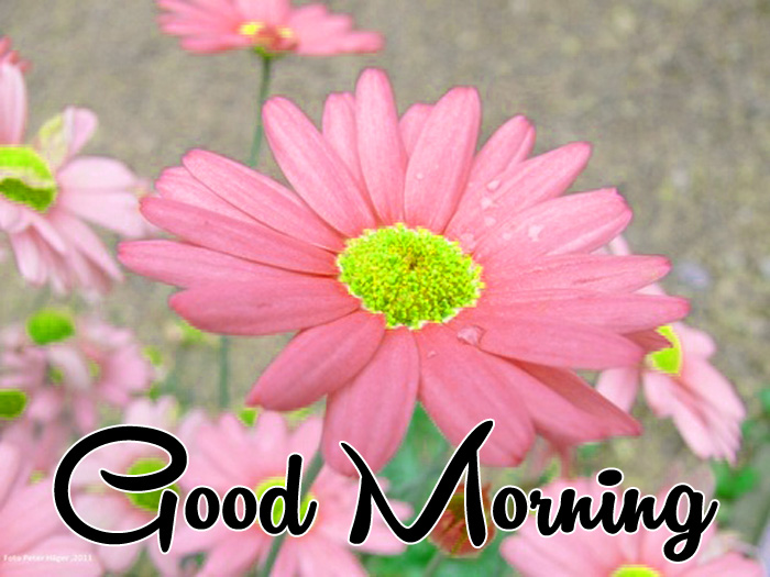 pink flower Good Morning images for whatsapp