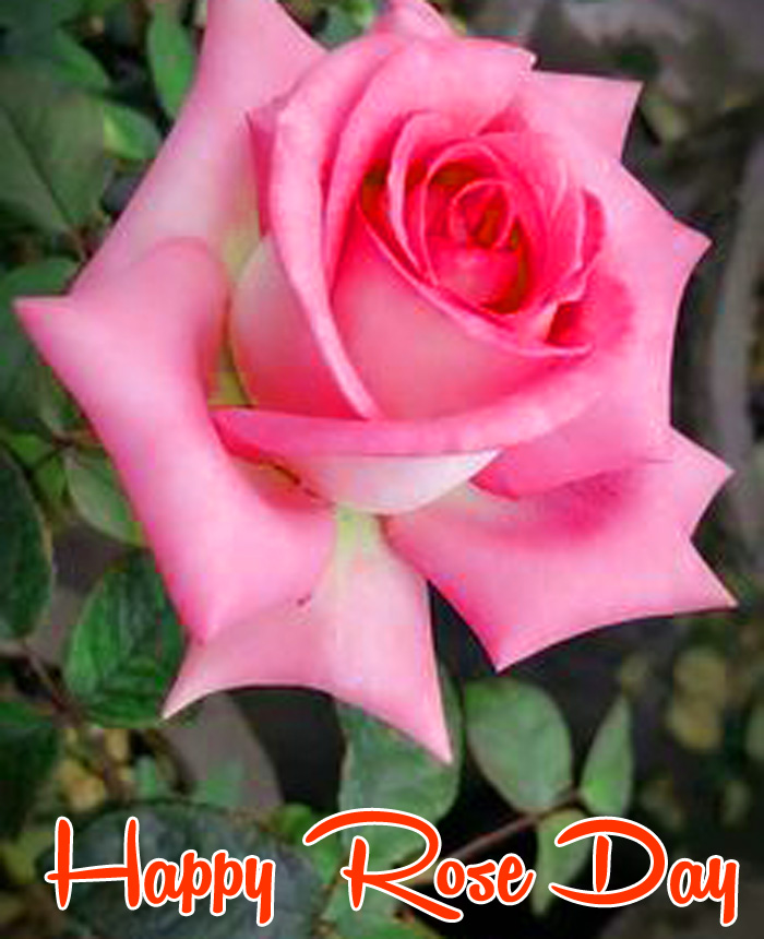 pink flower Happy Rose Day Gift hd photo