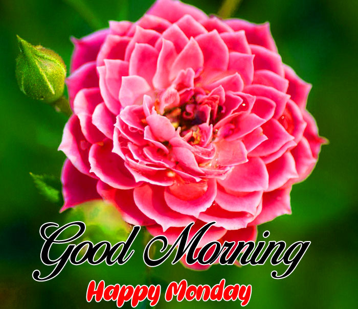 red flower Good Morning Happy Monday images hd