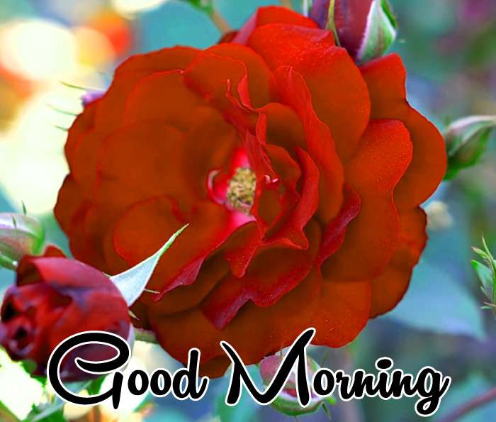 red flower Good Morning images for whatsapp